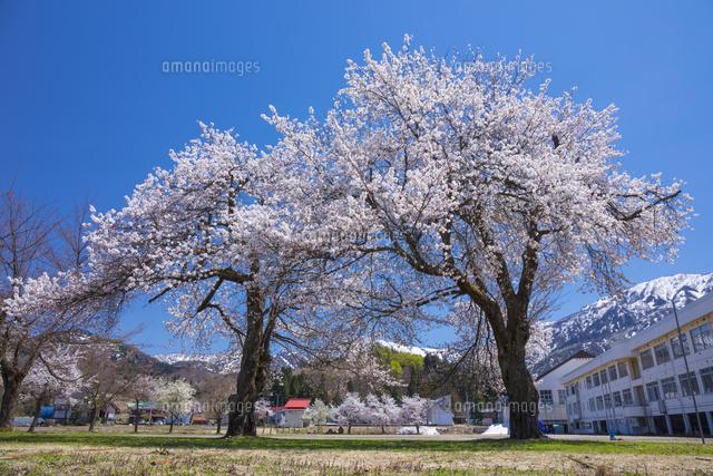 桜と小学校校舎25222015238の写真素材イラスト素材アマナイメージズ