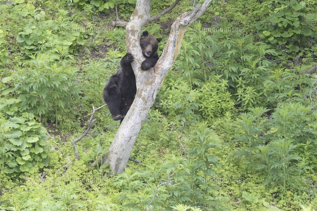 木登りするヒグマ25232004780の写真素材イラスト素材アマナイメージズ