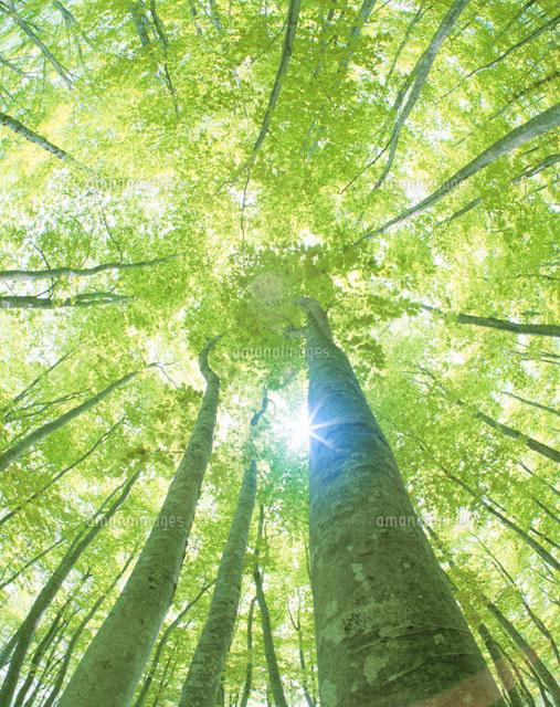 新緑の美人林と木洩れ陽[2537200...