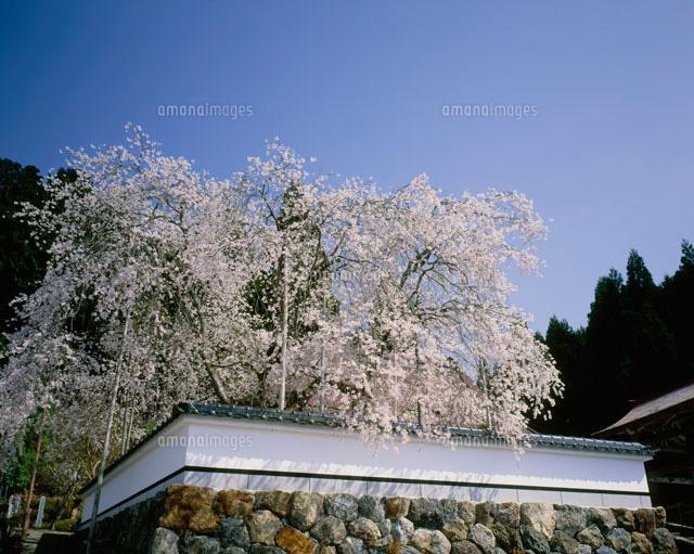 福徳寺の桜[25467008214]| 写真...