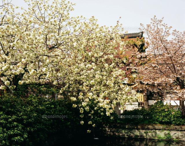 六孫王神社の欝金の桜[254670100...