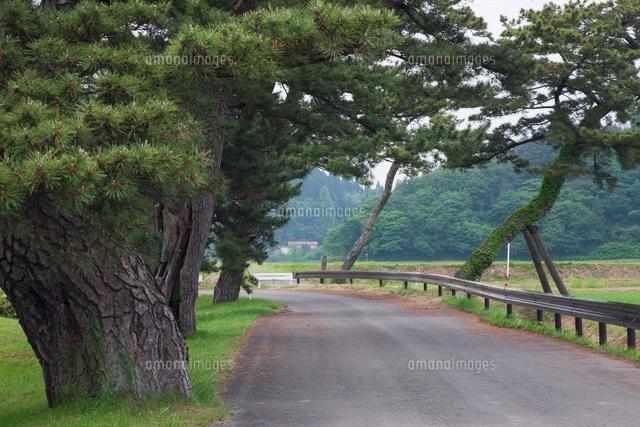 檜山追分旧羽州街道松並木[25516...