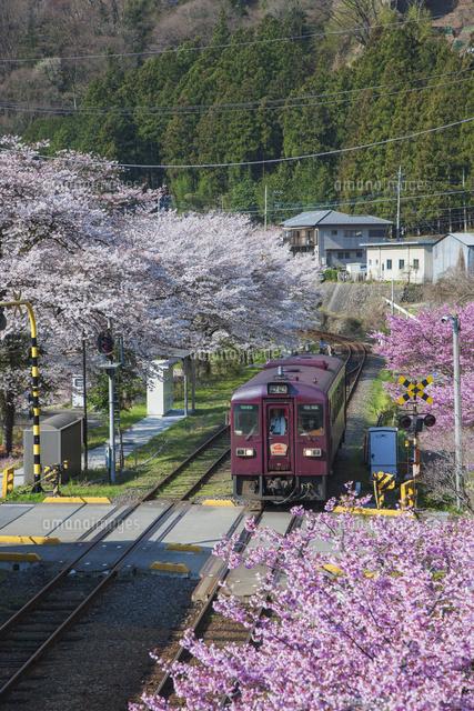 モモと桜とわたらせ渓谷鉄道 水...