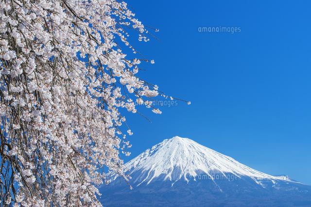 シダレ桜咲く先照寺より富士山[2...