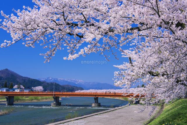 桧木内川堤の桜並木[25516043773...