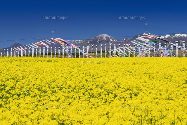 菜の花畑25538014670の写真素材イラスト素材アマナイメージズ
