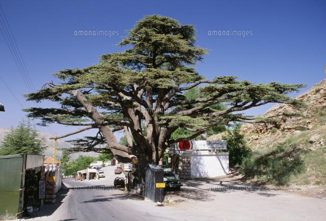レバノン杉[25557000306]の写真素材・イラスト素材|アマナ