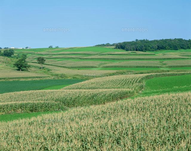 とうもろこし畑 8月 アイオワ州 ...
