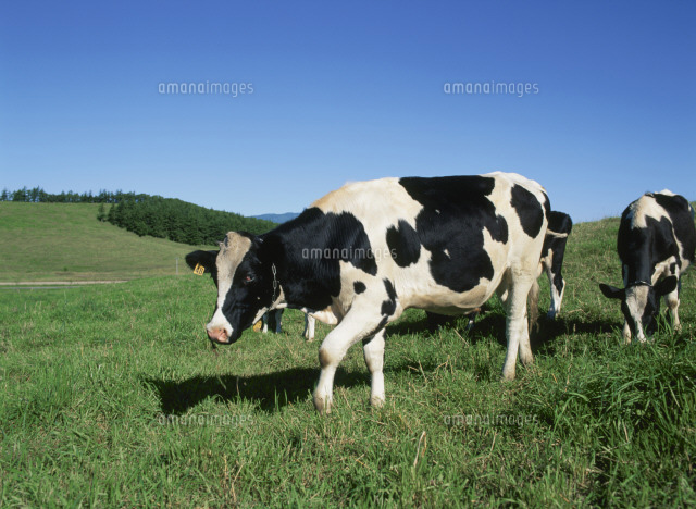 乳牛(ホルスタイン)[257780077...