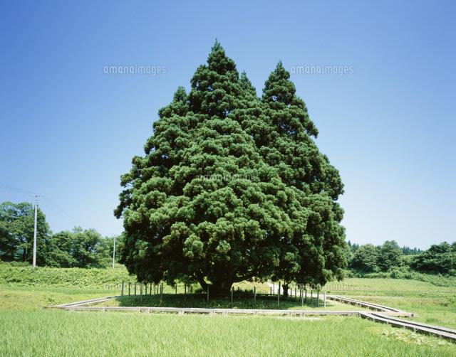小杉の大杉(トトロの木)[25784...