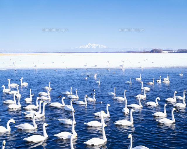 濤沸湖白鳥公園と斜里岳[2580200...