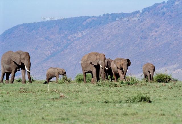 アフリカ象の群れ マサイマラ動...