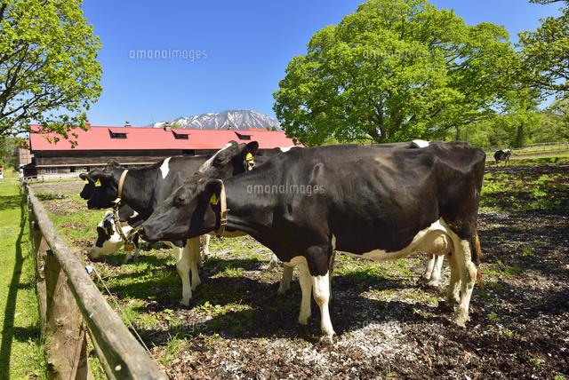 小岩井農場の乳牛25958018548の写真素材イラスト素材アマナイメージズ