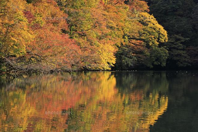 朝の白神山地の十二湖の落口の池の紅葉 26105012097 の写真素材