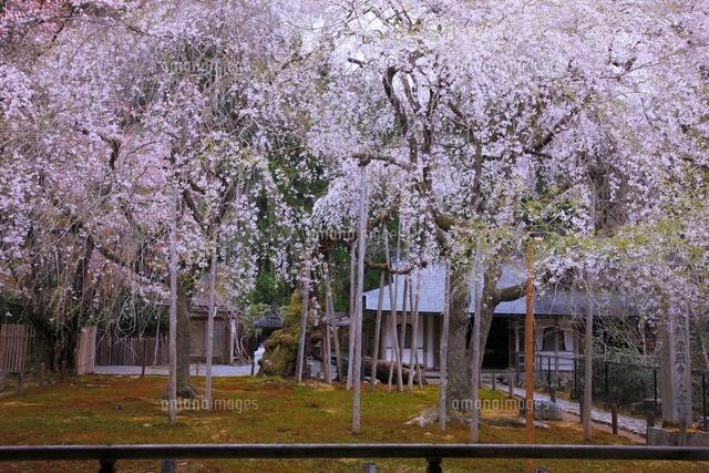 常照皇寺の九重桜[26121006716]...