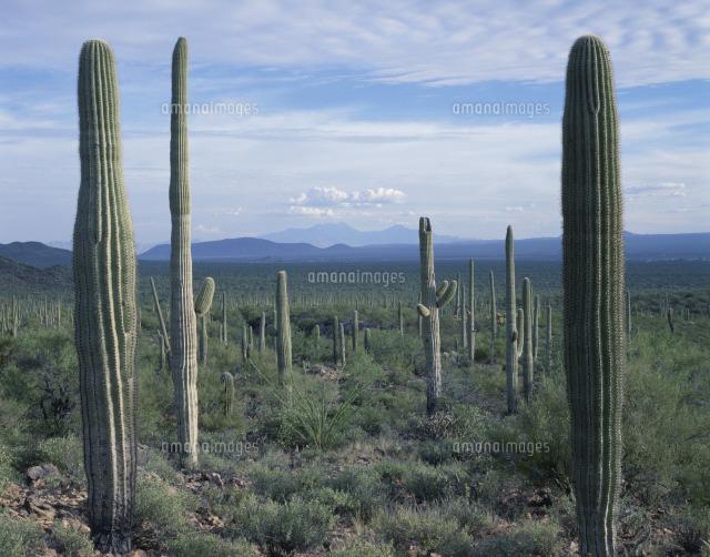 サボテン ソノラ砂漠[2615500053...