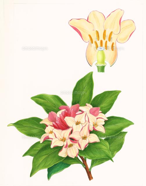 ジンチョウゲ花のつくり32000000035の写真素材イラスト素材