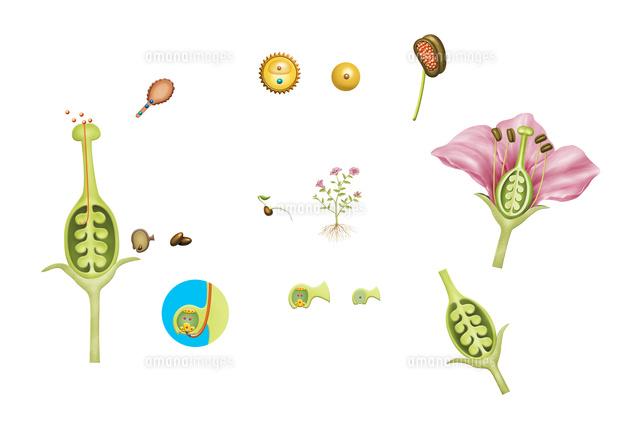 被子植物の一生(受粉、受精によ...