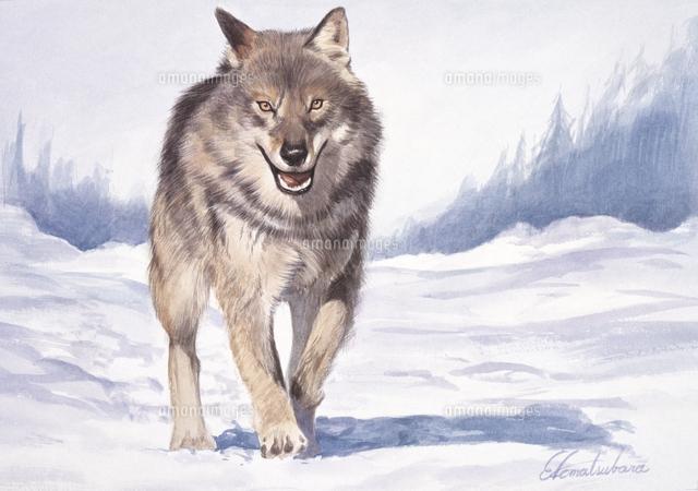 雪原を歩くヨーロッパオオカミ32016000003の写真素材