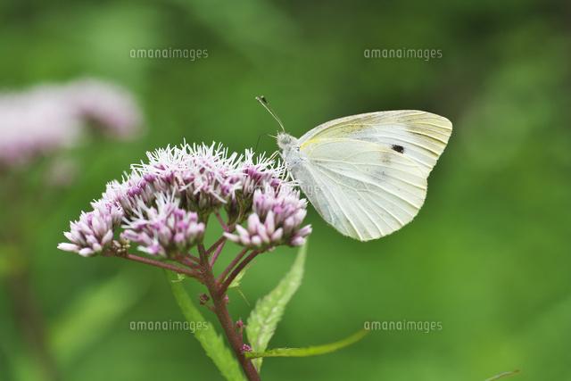 吸蜜するモンシロチョウ32067004139の写真素材イラスト素材アマナ