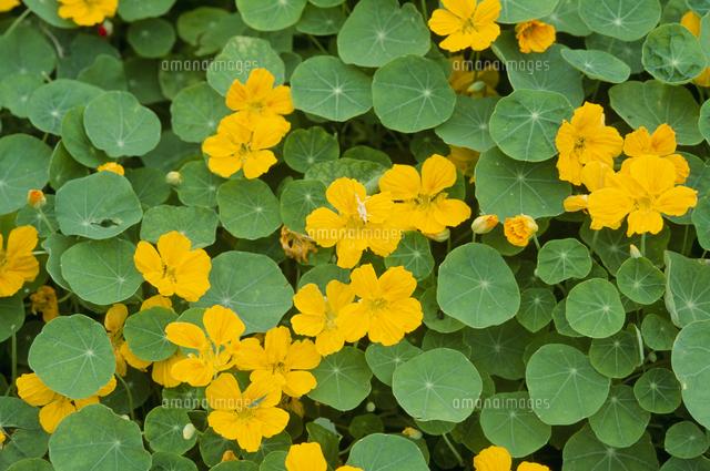 ナスタチウム(キンレンカ)の花...