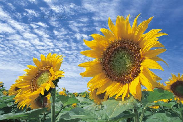 夏空を背景に咲くヒマワリ の写真素材 イラスト素材 アマナイメージズ