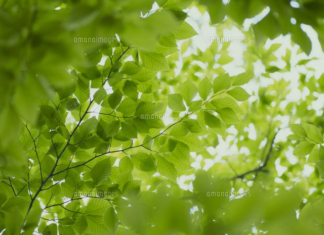 ブナの若葉と木洩れ日[321090001...