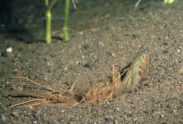 ハリヨのオスの巣作り 巣の出来...