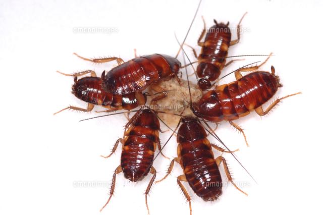クロゴキブリ 若令幼虫[32127000...
