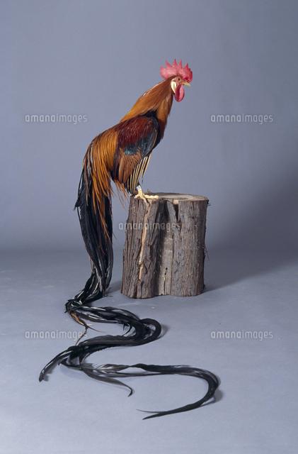 ニワトリ 品種オナガドリ32141000866の写真素材イラスト素材
