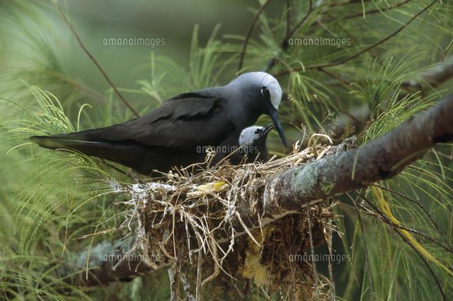 巣内で給餌するヒメクロアジサシ...