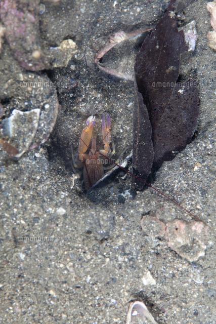 テッポウエビ属の一種 Alpheus s...