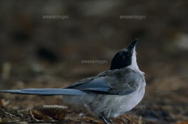 オナガの若鳥 水場32172001001の写真素材イラスト素材アマナイメージズ