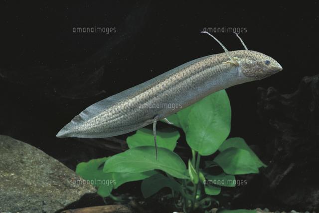 肺魚(プロトプテルス・アンフィ...