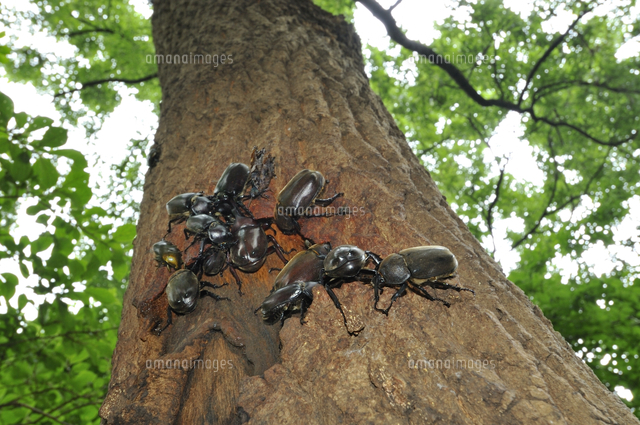 クヌギの樹液に集まったカブトム...