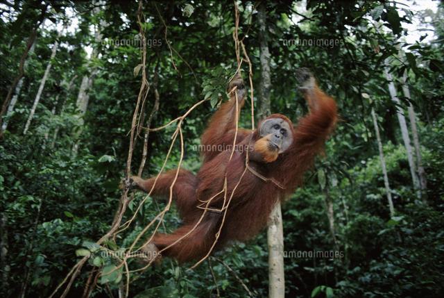 熱帯雨林のスマトラオランウータンのオス[32236000286]の写真素材 ...