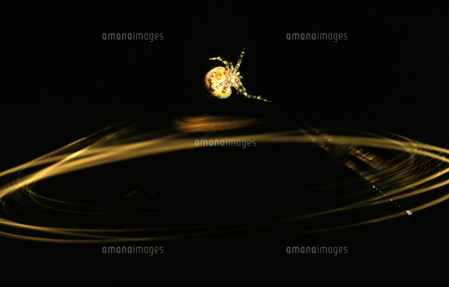 糸を揺らすオオイセキグモ(ナゲ...