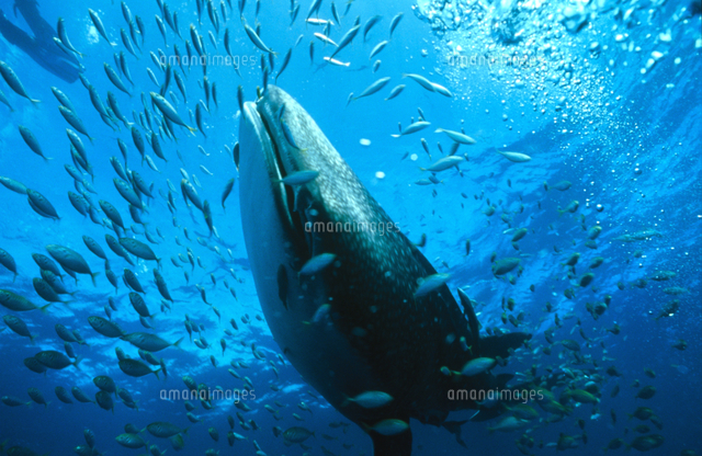 小魚と共に泳ぐジンベエザメジンベイザメ32240000271の写真素材