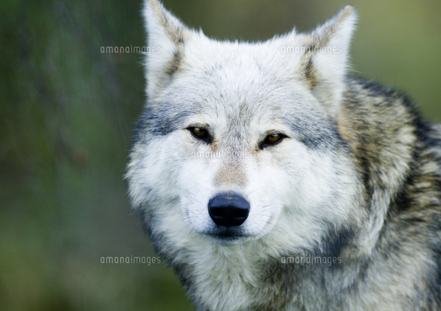 ヨーロッパオオカミの正面顔32251000094の写真素材イラスト