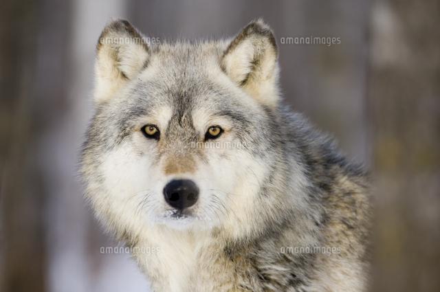 木立から顔をのぞかせるタイリクオオカミの正面顔32251000148