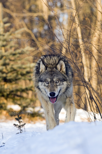 雪の中を歩くタイリクオオカミ32251000156の写真素材