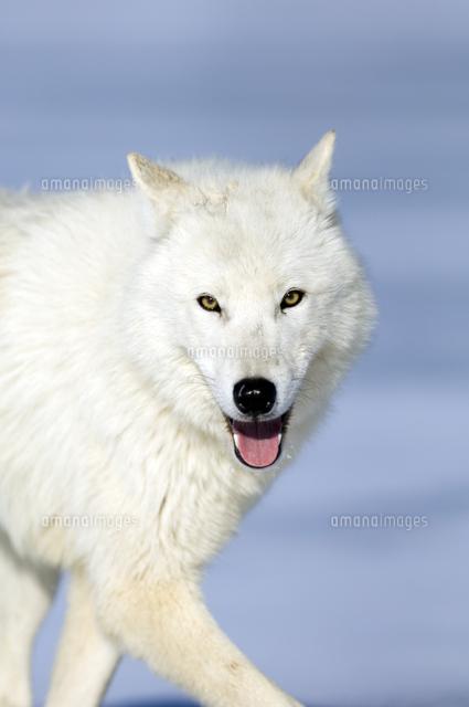 ホッキョクオオカミの正面顔32251000159の写真素材イラスト