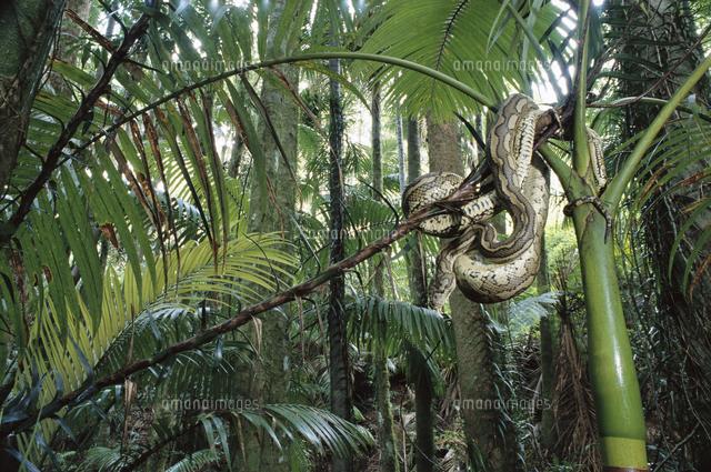 亜熱帯のニシキヘビの仲間[32258...