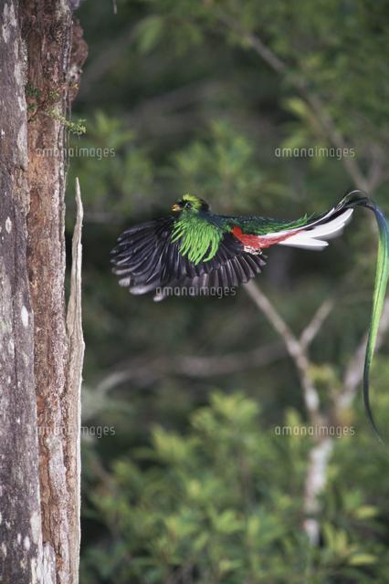 巣穴のそばを飛ぶカザリキヌバネドリ(ケツァール)のオス