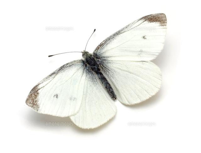 モンシロチョウ春型のオス32287000135の写真素材イラスト素材