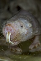 Naked Mole Rat (Heterocephalus glaber) portrait, native to Kenya, Ethiopia and Somalia