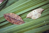 Dead-leaf Moth (Oxytenis modestia) looks like a dead leaf when at rest, Panama Rainforest