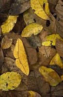 Imperial Moth (Eacles imperialis) camouflaged in leaf litter in rainforest, Yasuni National Park, at