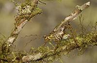 Katydid (Paraphidnia sp) camouflaged on branches, Mindo cloud forest, western slope of Andes, Ecuado