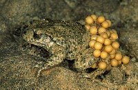 Midwife Toad (Alytes obstetricans) adult male carries eggs wrapped around his hind-legs until they h